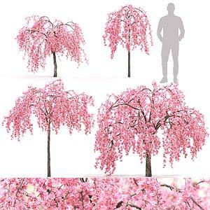 pendula royal beauty flowering 3D model