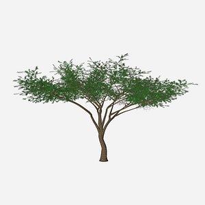 umbrella acacia african model