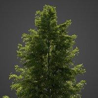 2021 PBR Japanese Hemlock Collection - Tsuga Diversifolia