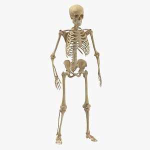 3D model real human female skeleton