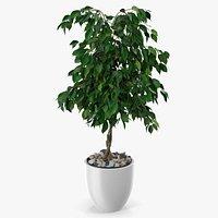 Ficus Benjamina Weeping Fig in Pot