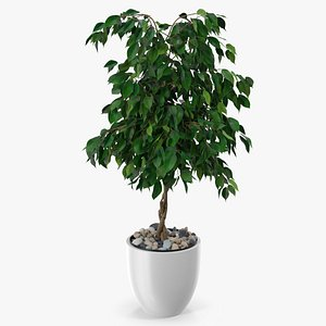 Ficus Benjamina Weeping Fig in Pot 3D model