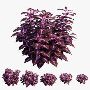 Coleus Plant set 08