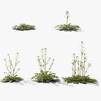 3D Grass collection Shepherd's Purse