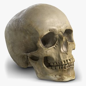 skull gypsum replica 3D model