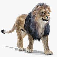 Lion 1 Animated Fur