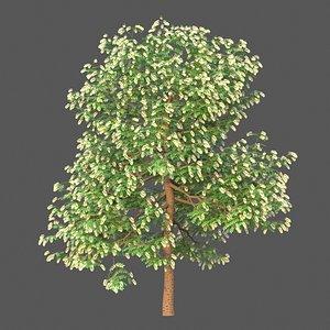 3D XfrogPlants Texas Ebony - Ebenopsis Ebano model