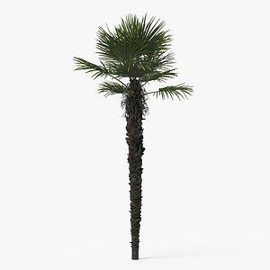 palm tree trachycarpus 3D model