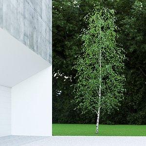3D betula pendula birch 7 model