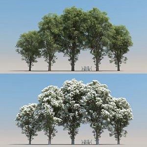 summer eucalyptus tree 3D model