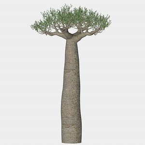 baobab tree 3D