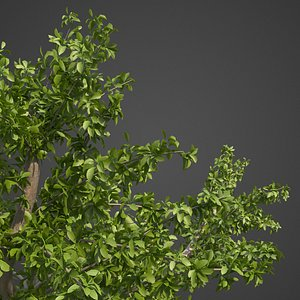 3D tropical almond model