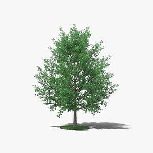 3D model Pin Oak