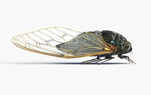 cicada insect nature model