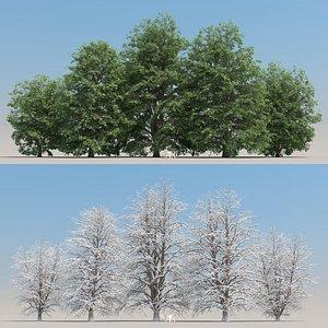 5-5 Tilia Trees