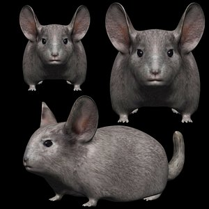 3D Fully Rigged low poly Chinchilla