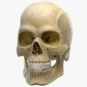 3D cranium skull