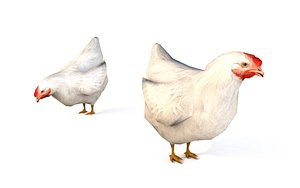3D white chicken animations