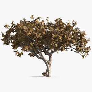 fig tree autumn 3D model
