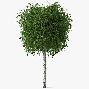 Small Birch Tree Green 3D model