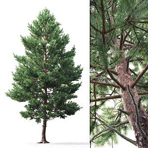 3D pine sylvestris 03 model