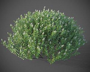 3D XfrogPlants Hebe Pinguifolia model
