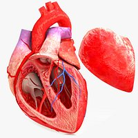 Human Heart Anatomy with Cross Section