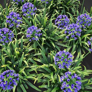 3D XfrogPlants African Lily - Agapanthus Africanus