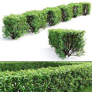 3D hedge cotoneaster lucidus model