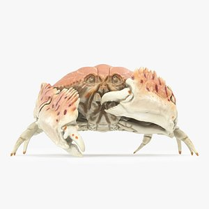 3D Common Box Crab - Animated