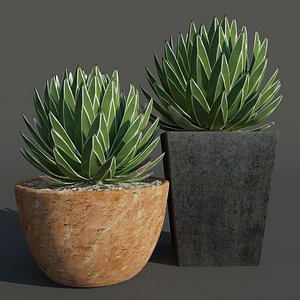agave succulent 3D model