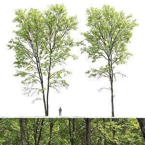 Ash-tree 01 3D