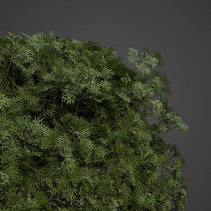 chamaecyparis hedges 3D model