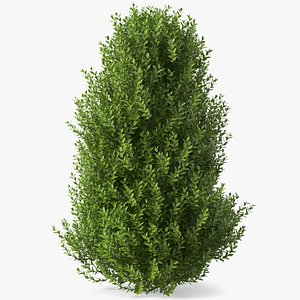 sweet bay laurel shrub model