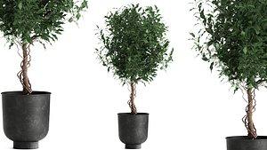 3D plants interior pots benjamina model