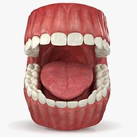 Realistic Dental Model With Gums Teeth and Tongue