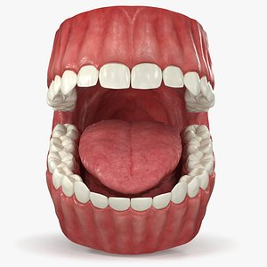 Realistic Dental Model With Gums Teeth and Tongue model