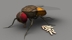 3D Housefly with eggs