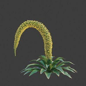 XfrogPlants Foxtail Agave - Agave Attenuata 3D model