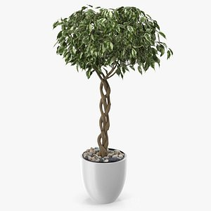 3D Ficus Benjamina Variegated Tree in Pot