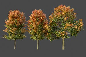 3D Xfrog Plants Sugar Maple - Acer Saccharum
