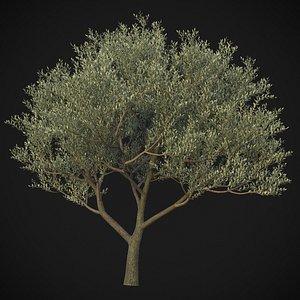 3D XfrogPlants Wolf Willow - Elaegnus Commutata
