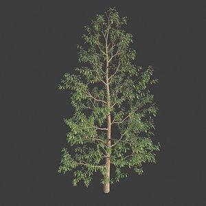 3D hinese Evergreen Oak - Quercus Myrsinifolia