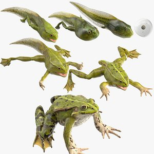 3D Frog Life Cycle Stages Rigged for Cinema 4D