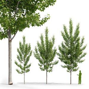 3D Poplar Populus deltoides V5 model