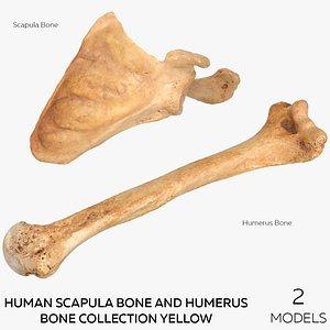 Human Scapula Bone and Humerus Bone Collection Yellow - 2 models 3D