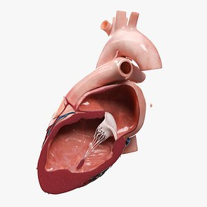 3D Heart Lateral Section v2 Animated model
