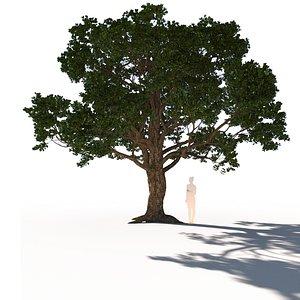coast live oak quercus model