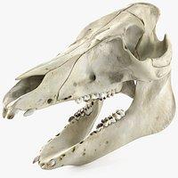Domestic Pig Skull