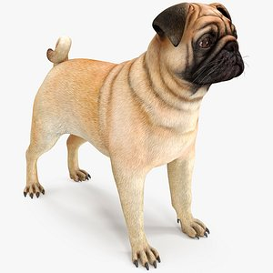 3D pug dog neutral pose